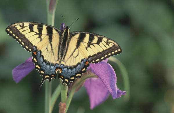 Wall Art - Photograph - Eastern Tiger Swallowtail On Iris by Michael Lustbader