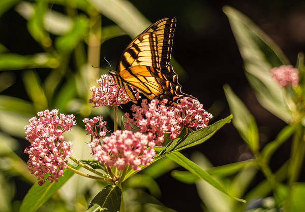 Photograph - Eastern Tiger Swallowtail On Milkweed by Keith Smith