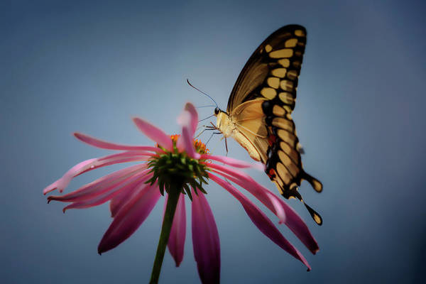 Photograph - Eastern Tiger Swallowtail by Wes and Dotty Weber