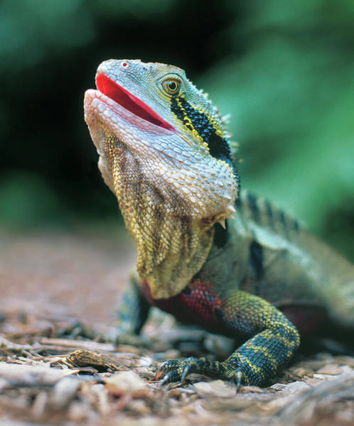 Botanical Photograph - Eastern Water Dragon Physignathus by Australian Scenics