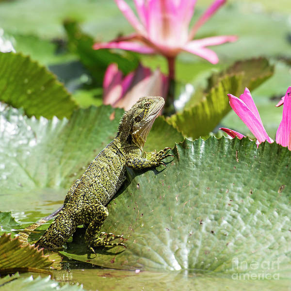 Photograph - Eastern Water Dragon by Rob D Imagery