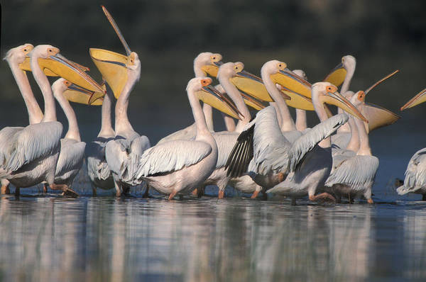 Wall Art - Photograph - Eastern White Pelicans by David Hosking