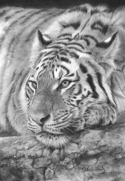 Drawing - Easy Tiger by Peter Williams