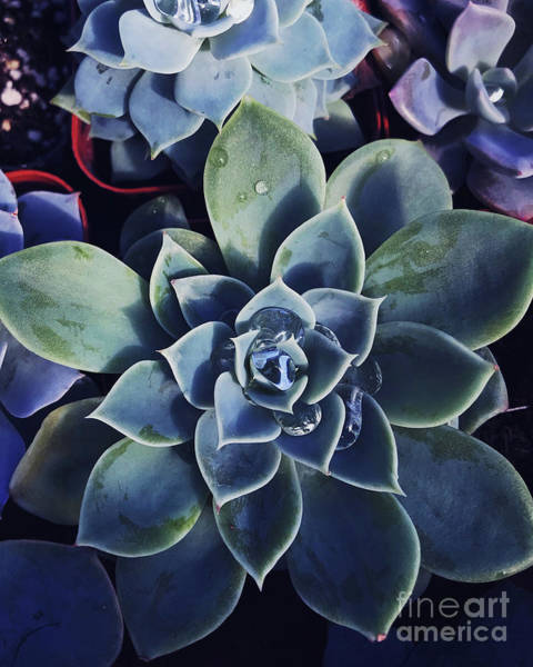 Wall Art - Photograph - Echeveria by HD Connelly