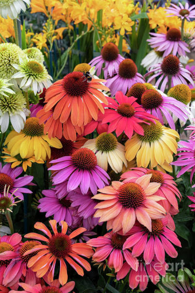 Photograph - Echinacea Color by Tim Gainey