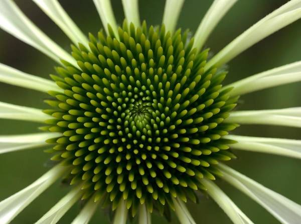 Petal Photograph - Echinacea Flower With White Petals And by Lauriek
