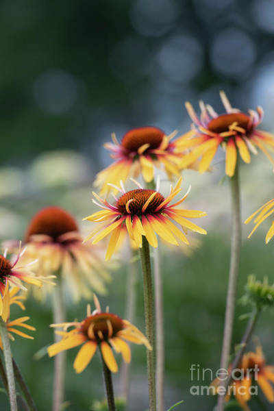 Photograph - Echinacea Funky Yellow by Tim Gainey