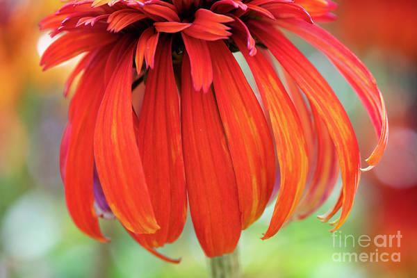 Photograph - Echinacea Hot Papaya Abstract by Tim Gainey