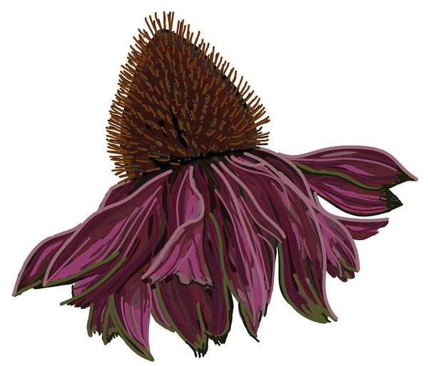 Drawing - Echinacea On White by Joan Stratton