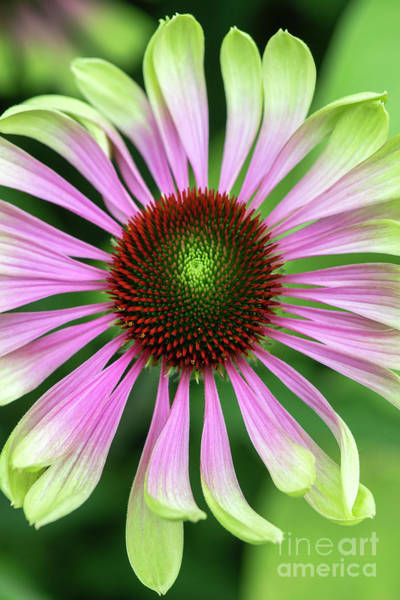 Photograph - Echinacea Purpurea Green Twister by Tim Gainey