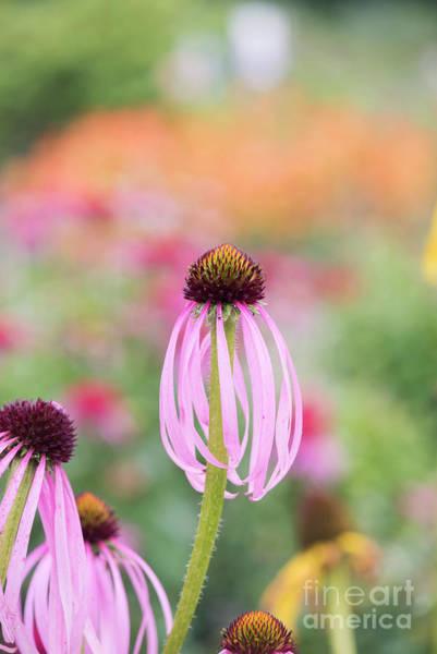 Coneflowers Photograph - Echinacea Simulata Flowering by Tim Gainey
