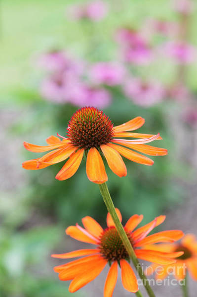 Photograph - Echinacea Tiki Torch Flower by Tim Gainey