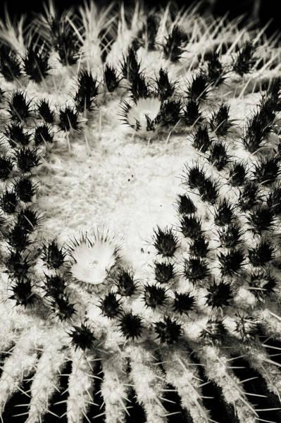 Photograph - Echinocactus Grusonii. Cacti Geometry 3 B W by Jenny Rainbow