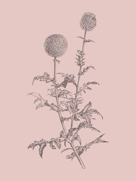 Bouquet Mixed Media - Echinopos Blush Pink Flower by Naxart Studio
