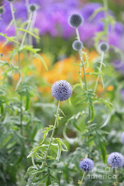 Wall Art - Photograph - Echinops Ritro Veitchs Blue In Summer by Tim Gainey