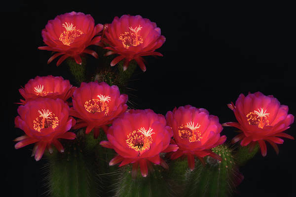 Photograph - Echinopsis Hot Pink by Saija Lehtonen