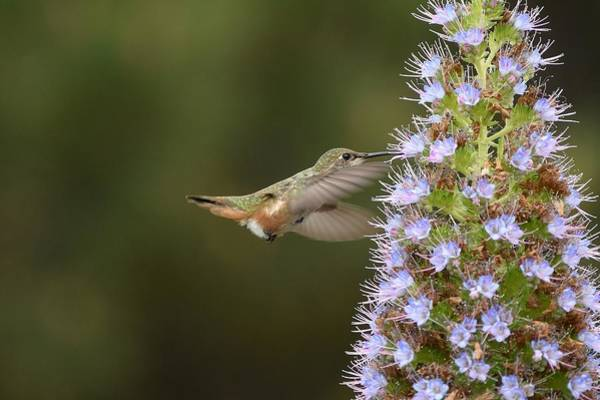 Photograph - Echium Buffet by Fraida Gutovich