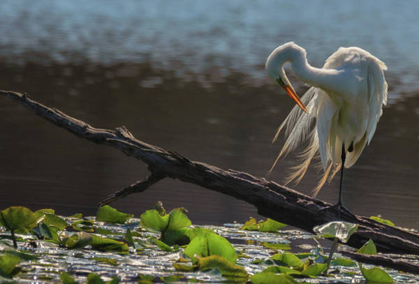 Photograph - Egret 5 by Richard Kopchock