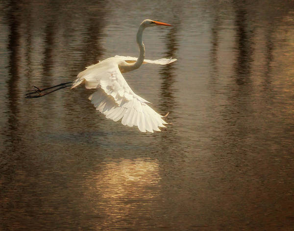 Photograph - Egret 6 by Richard Kopchock