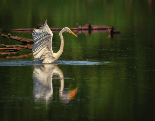Photograph - Egret 7 by Richard Kopchock