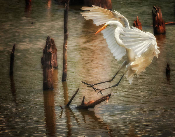 Photograph - Egret 8 by Richard Kopchock