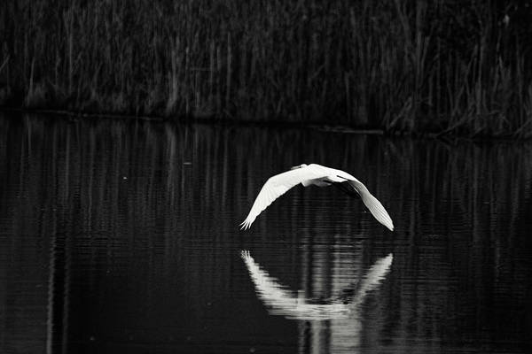 Wall Art - Photograph - Egret Aureole by Susan Capuano