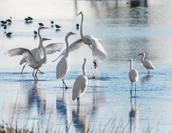 Photograph - Egret Ballet 1400 by Donald Brown