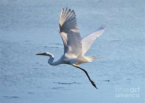 Photograph - Egret Beauty by Carol Groenen