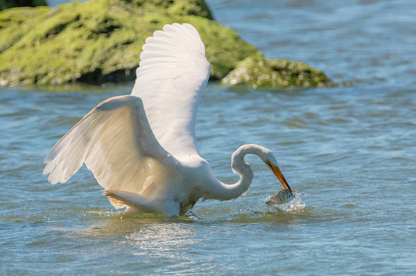 Photograph - Egret Catches A Shiner by Loree Johnson