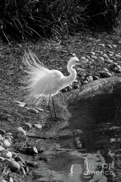 Wall Art - Photograph - Egret Courtship Display Grayscale by Jennifer White