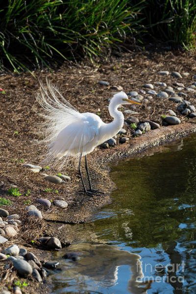 Wall Art - Photograph - Egret Courtship Display by Jennifer White