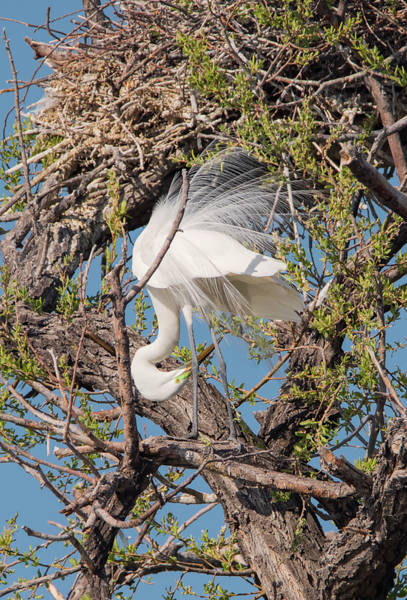 Photograph - Egret Display by Loree Johnson
