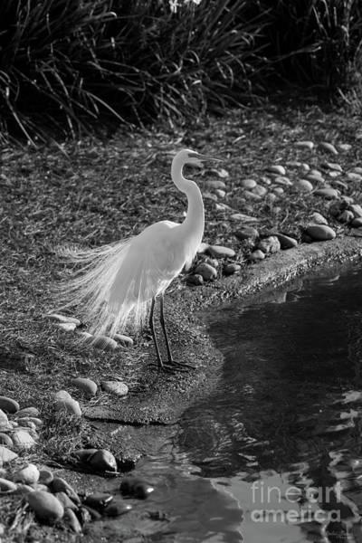 Wall Art - Photograph - Egret Feather Dance Grayscale by Jennifer White