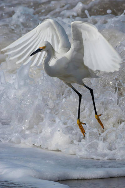 Wall Art - Photograph - Egret Flees A Wave by Bruce Frye