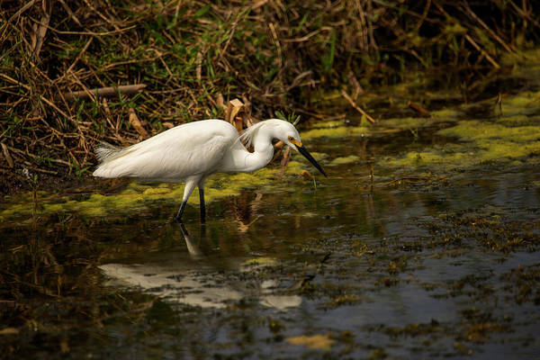 Photograph - Egret Hunts by Kevin Banker