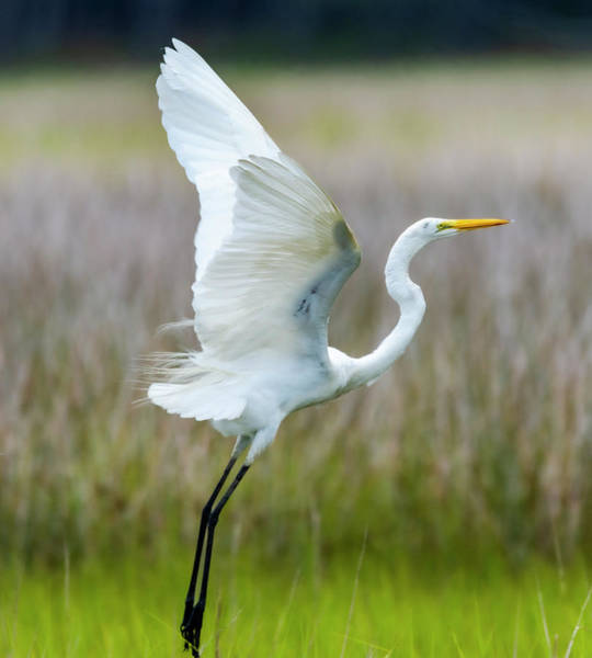 Wall Art - Photograph - Egret In Flight by Liam Doub
