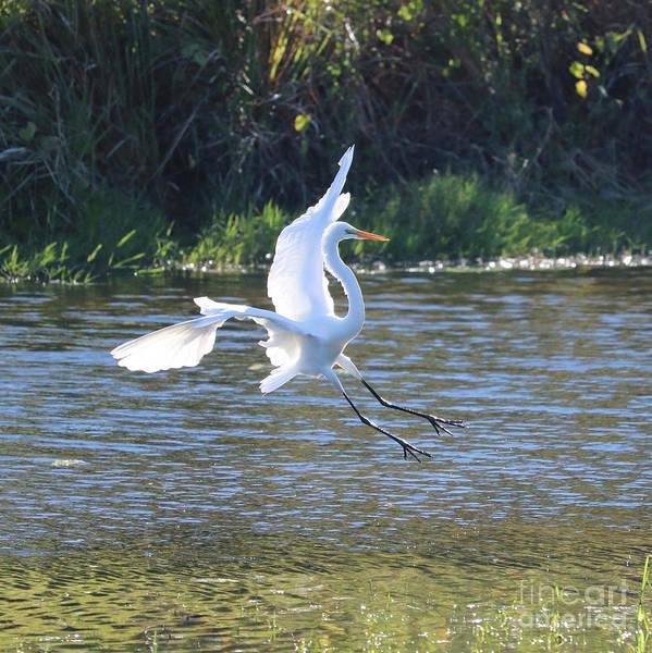 Photograph - Egret Landing In Light by Carol Groenen