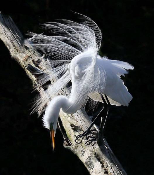Branch Photograph - Egret Mating Plumage by Spiraling Road Photography