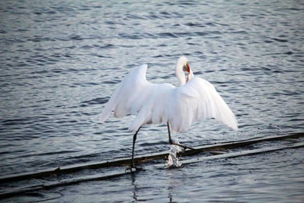 Photograph - Egret On The Move With Supper by Cynthia Guinn