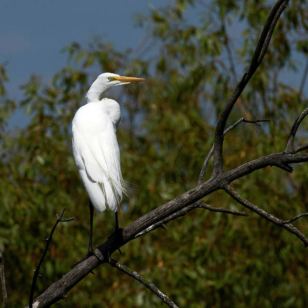 Wall Art - Photograph - Egret Perched by Paul Freidlund