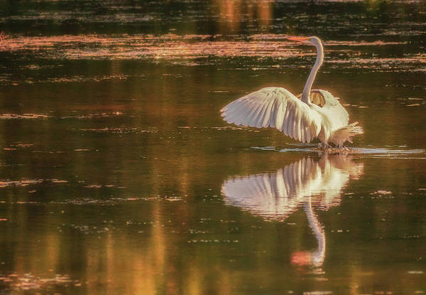 Photograph - Egret Reflections 2 by Richard Kopchock