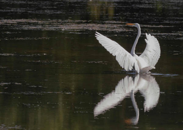 Photograph - Egret Reflections by Richard Kopchock