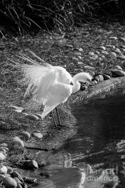 Wall Art - Photograph - Egret Show Off Grayscale by Jennifer White