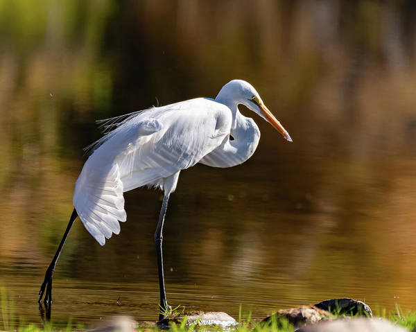Photograph - Egret Yoga by Mary Hone