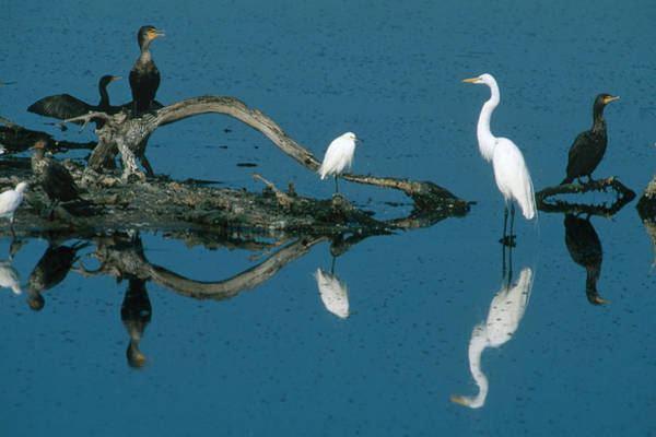 Wall Art - Photograph - Egrets And Cormorants In The Everglades by Michael Lustbader