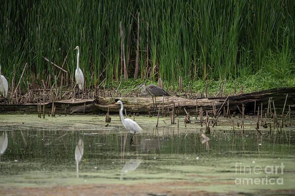 Wall Art - Photograph - Egrets And Heron by David Bearden