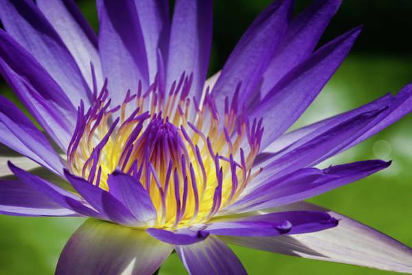 Petal Photograph - Egyptian Blue Lily by Mavila