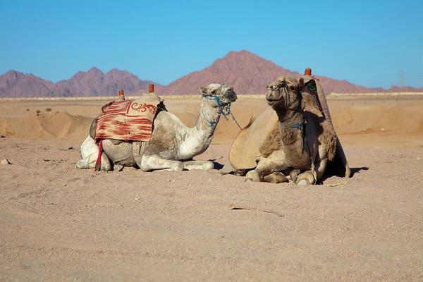 Free Range Photograph - Egyptian Desert Camels by Nicholas Free