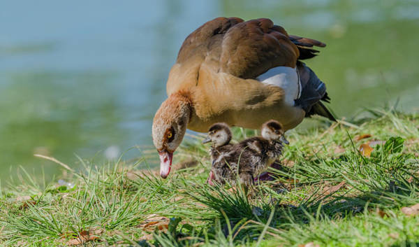 Wall Art - Photograph - Egyptian Goose And Goslings by Morris Finkelstein