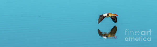 Photograph - Egyptian Goose Flying Panorama by Benny Marty